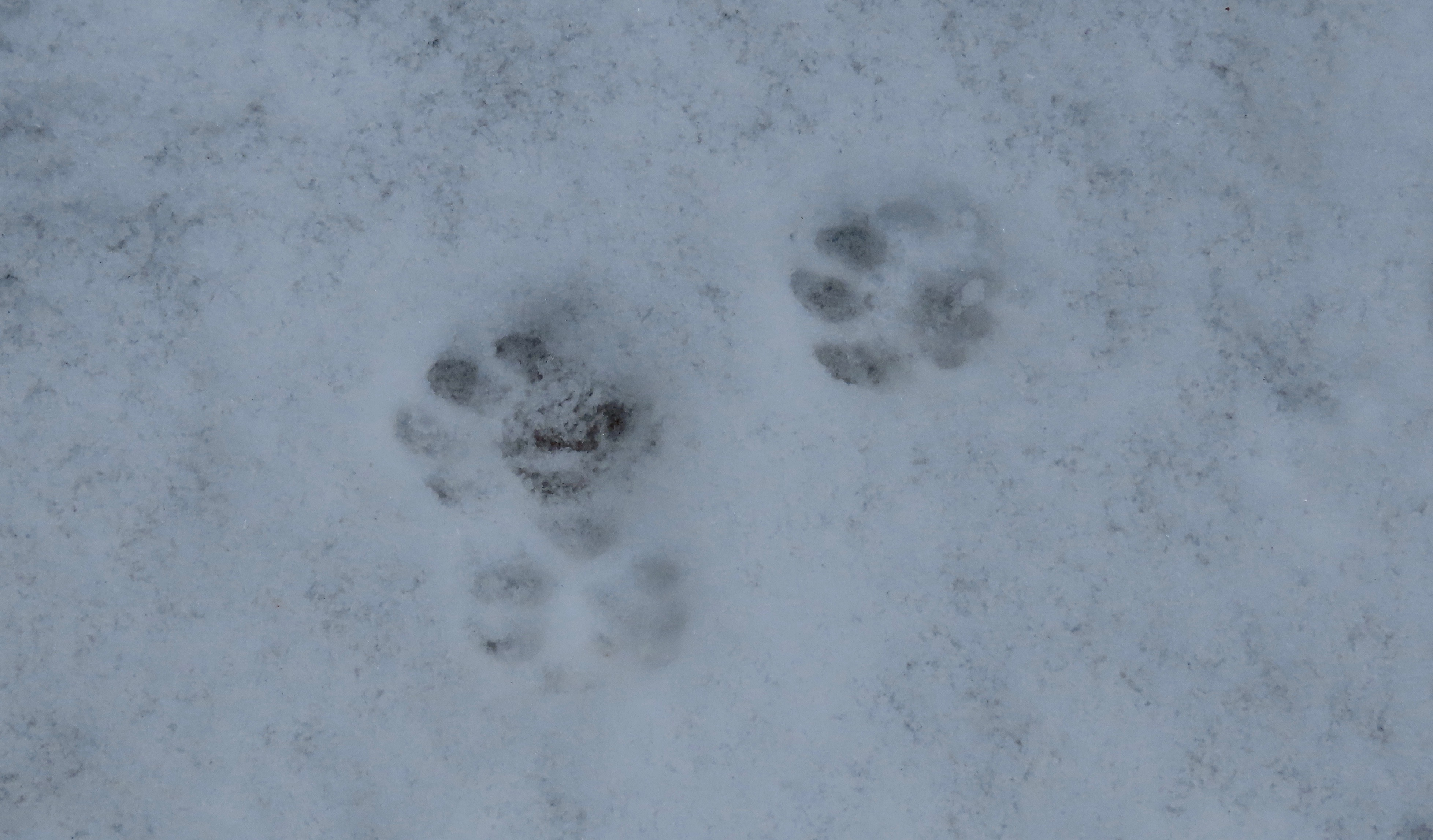Bobcat tracks in snow Pothole Trail Sespe Wilderness Los Padres National Forest