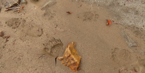 Bear tracks agua blanca creek sespe wilderness los padres national forest