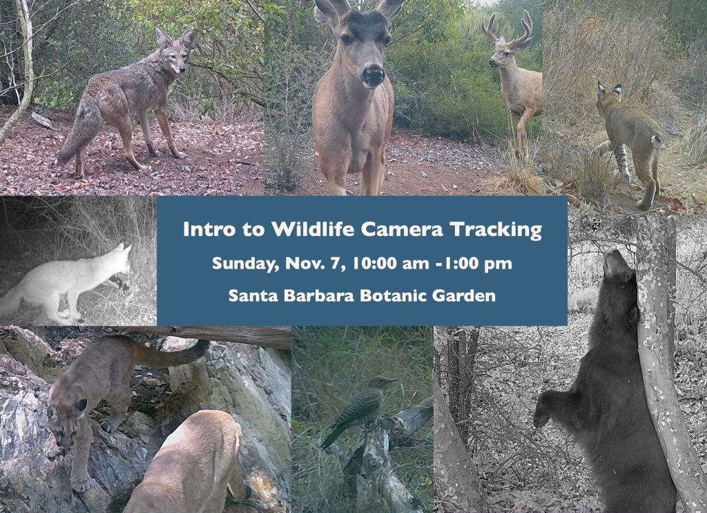wildlife camera tracking trapping class santa barbara los padres national forest trail camera bear bears mountain lion mountain lions deer fox foxes coyote coyotes bobcat bobcats